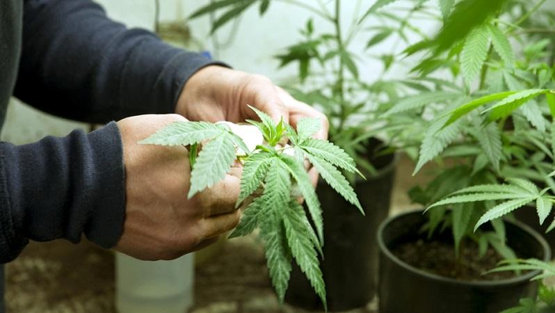 Capturan a dos jovenes marihuanos con medio kilo de la hierba