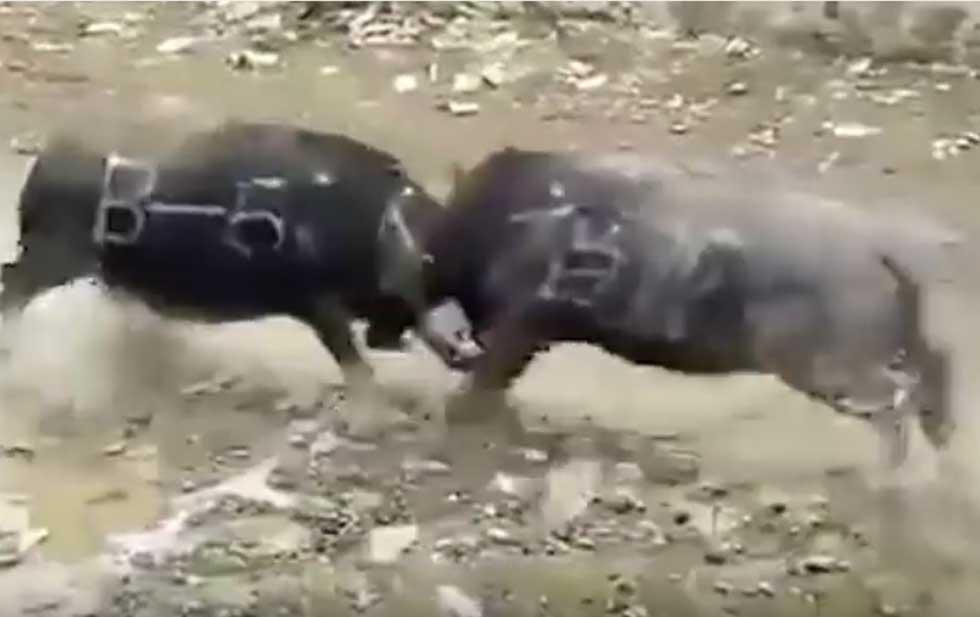 Búfalos mueren al instante tras chocar violentamente VIDEO