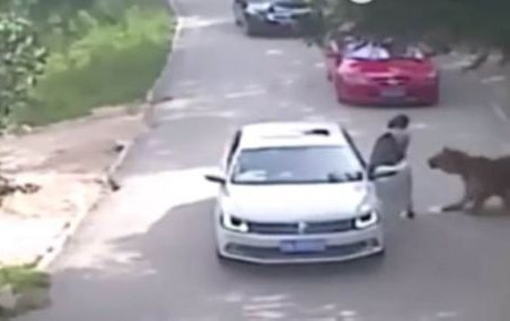 Tigres matan a mujer y hieren a otra durante safari VIDEO