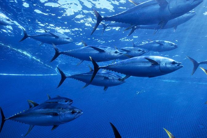 Prohibirá SAGARPA pesca de atún a partir del 29 de julio