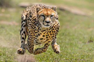 Los animales más rápidos del mundo estarían a punto de extinguirse
