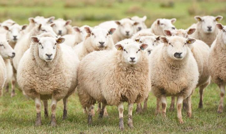 Las ovejas puedan identificar los rostros humanos, revela nuevo estudio