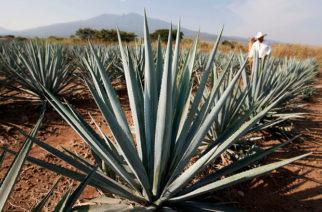Siguen peleando por denominación del origen del mezcal en Aguascalientes