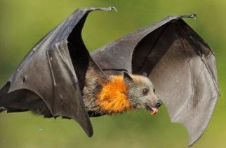 La sorprendente razón por la que los murciélagos no se enferman
