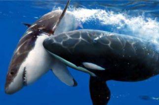 ¿Por qué las orcas están devorando tiburones blancos en Sudáfrica?