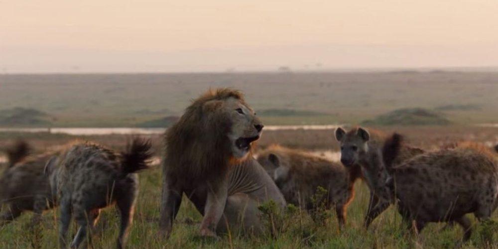 León agradece ayuda de su compañero tras ser atacado por hienas