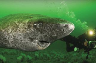 Científicos descubrieron un tiburón vivo de 512 años
