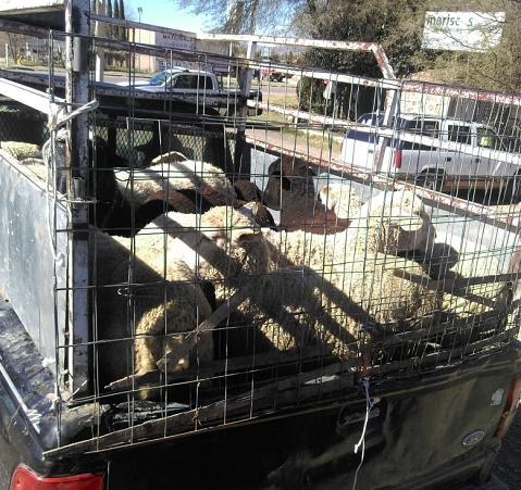 Aseguran a 13 borregos presuntamente robados en Tepezalá