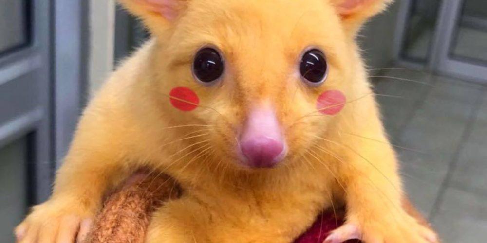 Encuentran a un Pikachu 'real' en Australia