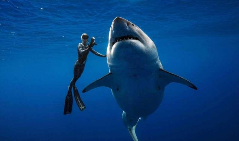 Encuentran al tiburón blanco más grande del mundo en Hawái