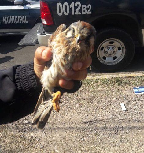 Joven quería vender halcón en peligro de extinción en Ags.