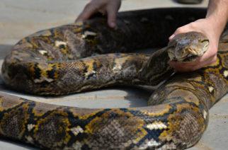 Capturan una gigantesca pitón de más de 63 kilos que incubaba 73 huevos