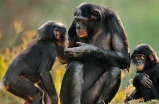 Implantan genes humanos en el cerebro a unos monos: estos fueron los cambios