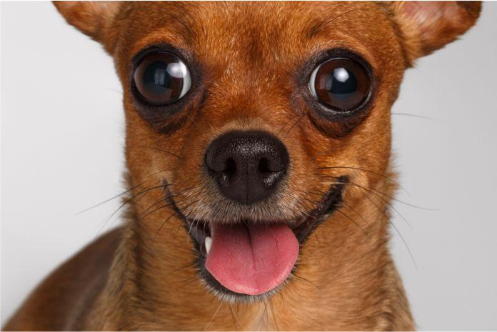 La inteligencia de tu perro puede depender de su tamaño