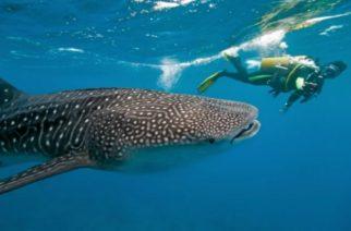 El extraño comportamiento migratorio de los tiburones ballena