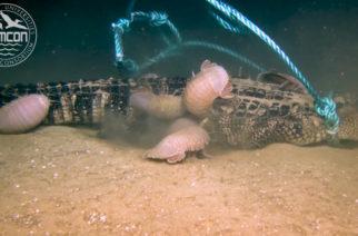 Caimán es devorado por isópodos gigantes a 2.000 metros de profundidad