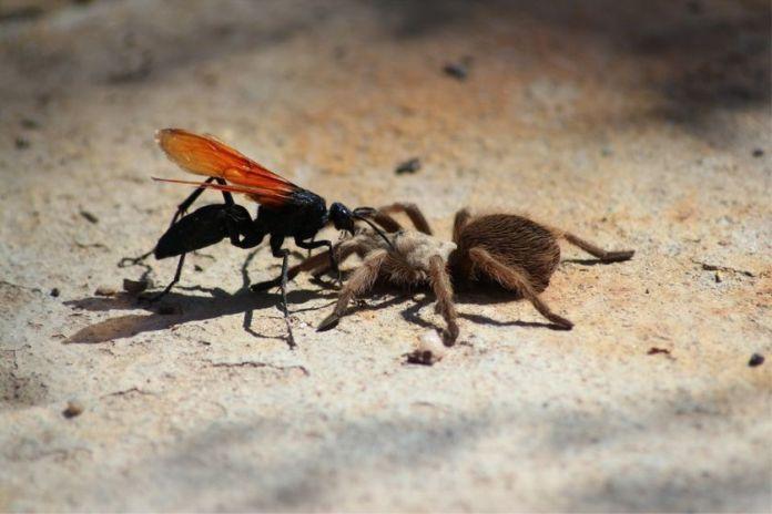Las avispas que convierten a las arañas en 'zombies' para esclavizarlas