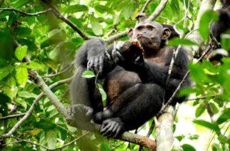 Investigadores captan a chimpancés salvajes comiendo tortugas