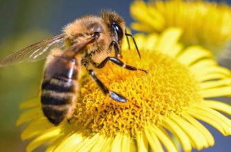 Alerta por reducción de poblaciones de abejas en el mundo