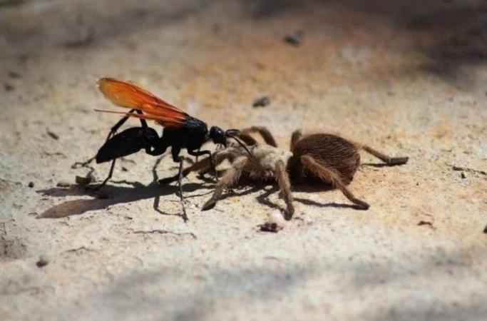 Avispas convierten a arañas en zombies con sólo una picadura