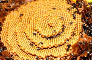 Las abejas que construyen colmenas en espiral
