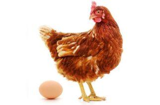 Física cuántica resuelve qué fue primero, ¿el huevo o la gallina?