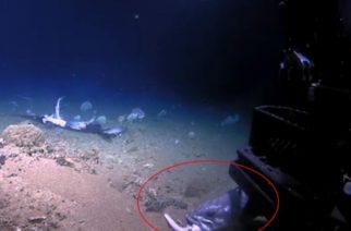 Pez devora a tiburón de un solo bocado