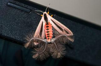 VIDEO: Captan inusual criatura con alas y tentáculos en casa de Indonesia