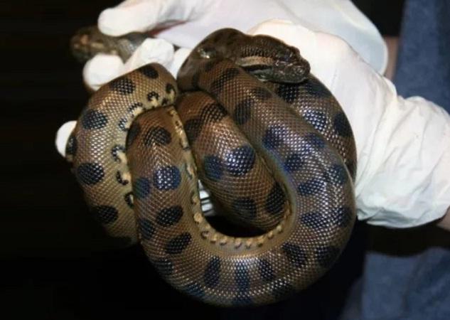 Anaconda queda preñada sin necesidad de un macho