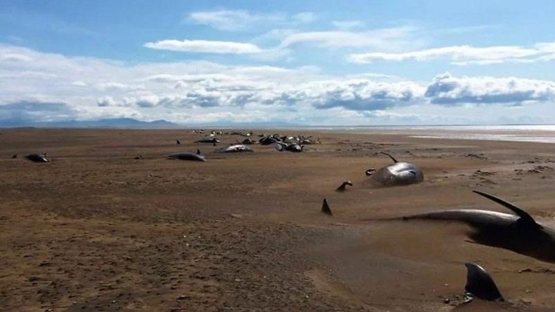 Aparecen 50 ballenas muertas en Islandia