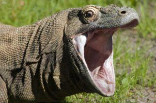 Dragón de Komodo se come de un solo bocado a un mono