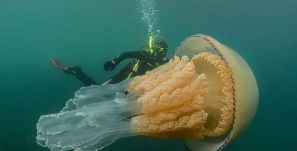 Captan medusa de tamaño humano en Reino Unido