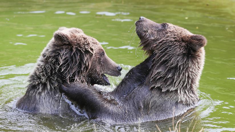 Captan feroz pelea de osos cerca de un campamento