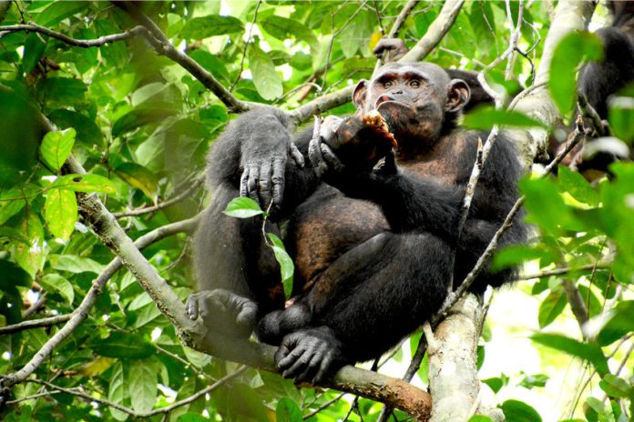 Los chimpancés salvajes que comen tortugas