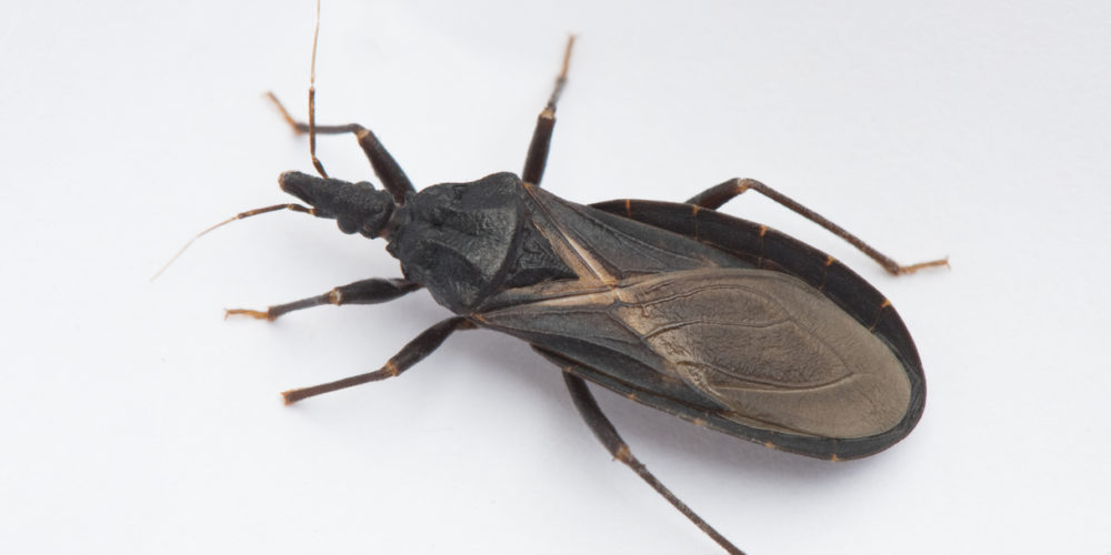 """Closeup of an assassin bug, also known as a """"kissing bug,"""" carrier of Chagas disease."""