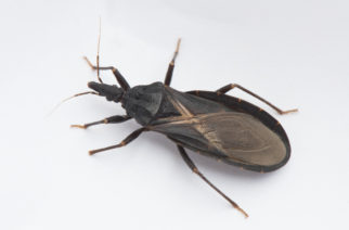 "Closeup of an assassin bug, also known as a ""kissing bug,"" carrier of Chagas disease."