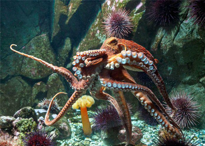 Aumenta el número de pulpos en el océano y científicos desconocen la razón