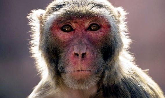 Checa el resultado de implantar genes humanos en monos
