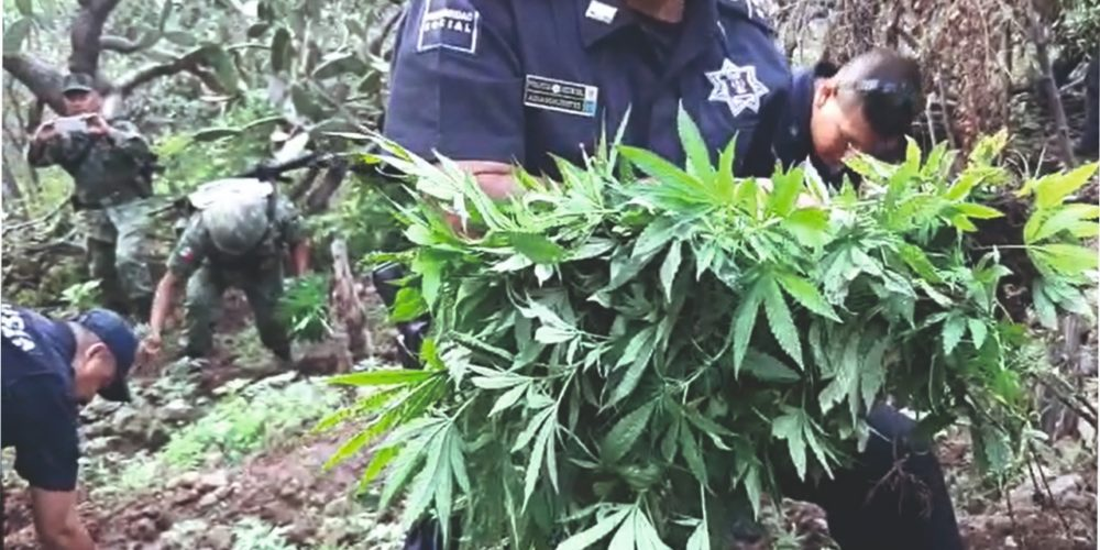 Manda FGR a la cárcel a Gerardo por posesión de plantío de marihuana en Aguascalientes