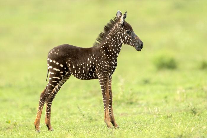 Cebra nace con manchas blancas en lugar de rayas