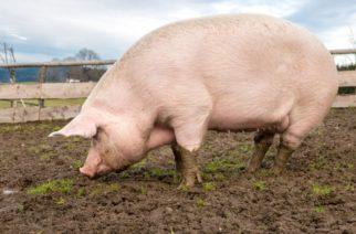 China cría cerdos gigantes para combatir escasez de carne