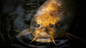 (Video)Encuentran a un pez con cara parecida a un humano