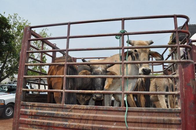 Hay más robo de ganado que robos con violencia en Aguascalientes