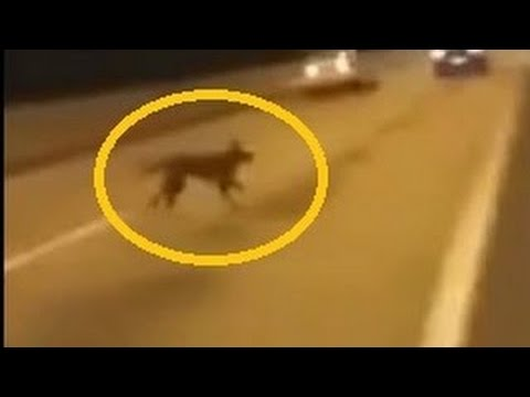Perro se teletransporta para no ser atropellado VIDEO