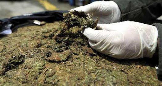 Federales aseguran camión con más de 700 kilos de marihuana en Tamaulipas