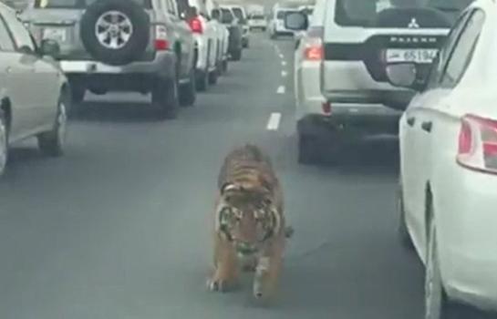 Tigre se pasea en medio del tráfico en hora pico en Qatar
