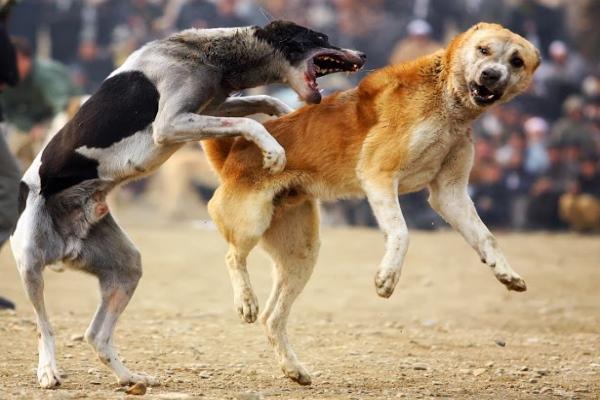 Preocupa a las autoridades la realización de un torneo internacional de peleas de perros en Ags.