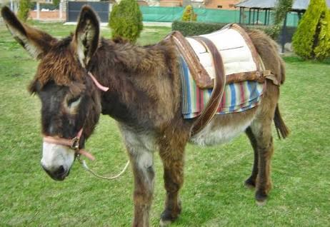 Se acaban los burros; crean en México santuario para su preservación