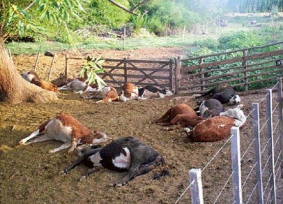 Habilitan en Calvillo segunda fosa para enterrar vacas muertas intoxicadas