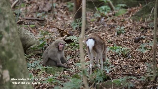 VIDEO: El mono que intenta tener sexo con un ciervo
